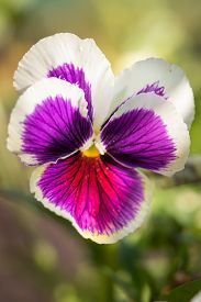pic of viola  - Purple Viola Tricolor Pansy flowers with natural Green background
