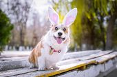 Happy Purebred Welsh Corgi Dog  Dressed Up With Bunny Ears Costume For Easter Celebration For A Walk poster