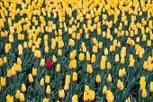 Field Of Yellow Tulips And One Red Tulip. Black Sheep, Outsider Concept: One Red Flower In The Field poster