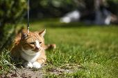 Red-haired Domestic Cat In The Garden. Red-haired Domestic Cat In The Garden. poster