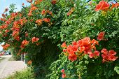 Trumpet Vine Flowers On Fence. Campsis Radicans (trumpet Vine Or Trumpet Creeper, Also Known In Nort poster