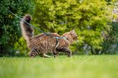 Portrait of Black tabby Maine Coon Cat at park. Young cute Cat with leash. Pets walking outdoor adve poster