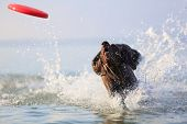 Happy, Playful Brown Dog German Shorthaired Pointer Is Running And Jumping On The Water Making Splas poster