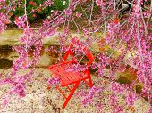 stock photo of judas tree  - Judas tree in full flower in Israe - JPG