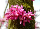 pic of judas tree  - Spring flowering of judas on tree trunk - JPG