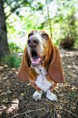 stock photo of basset hound  -  a basset hound barking or howling in a park - JPG