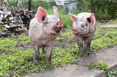 stock photo of animal husbandry  - young pig walking on a farm a summer day - JPG