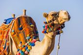 picture of hump day  - The muzzle of the African camel close - JPG