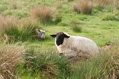 stock photo of suffolk sheep  - Two sheep one a Suffolk the other possibly a Beulah lying in marshland - JPG