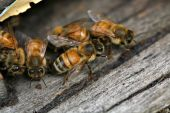 stock photo of honey-bee  - Honey Bees coming and going from a man made beehive - JPG