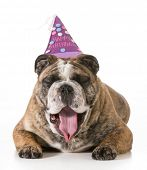 birthday dog - english bulldog yawning wearing happy birthday hat - 2 year old brindle male