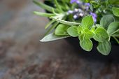 picture of oregano  - Herbs still life - JPG