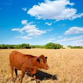 picture of moo-cow  - Menorca brown cow grazing in golden field near Ciutadella at Balearic islands - JPG
