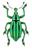 picture of diffraction  - azure exotic weevil  - JPG