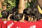 stock photo of border terrier  - Group of adorable puppies of border terrier on red blanket - JPG