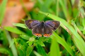 image of brahma  - beautiful Golden Sapphire butterfly  - JPG