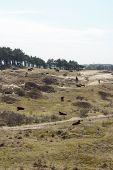 stock photo of highland-cattle  - Cattle scottish Highlanders in Zuid Kennemerland Netherlands - JPG