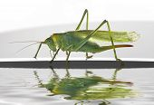 Green Female Grasshopper