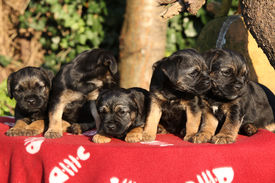 pic of border terrier  - Group of adorable puppies of border terrier on red blanket - JPG