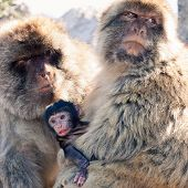 picture of macaque  - Family of Barbary Macaques in Gibraltar - JPG