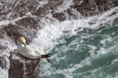 stock photo of gannet  - The Australasian Gannet clean - JPG