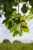 stock photo of linden-tree  - Overhanging branches of a large-leaved linden or Tilia platyphyllos tree with almost translucent leaves against the sky. ** Note: Soft Focus at 100%, best at smaller sizes - JPG