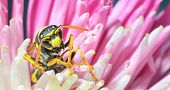 picture of mandible  - Yellow Jacket (Wasp) / Wasp is collecting pollen and nectar from flowers.