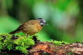 pic of babbler  - Beautiful brown bird Grey-throated Babbler bird of Thailand