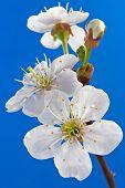 Постер, плакат: Цветок вишни
