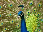 pic of peahen  - Portrait of a colourful country house Peacock - JPG