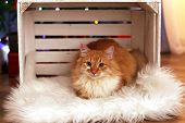 pic of lovable  - Lovable red cat in crate on fur carpet - JPG