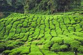stock photo of cameron highland  - Landscape with tea plantation Cameron highlands Malaysia - JPG