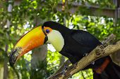 picture of toucan  - A toucan bird sitting on a branch in a tropical scene - JPG