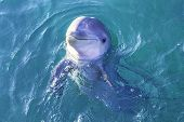 pic of bottlenose dolphin  - A close view of a dolphin swimming in clear blue water - JPG