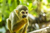 picture of baby spider  - A New World Spider Monkey scene with lush green foliage - JPG