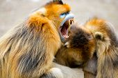 picture of monkeys  - A gloden monkey family hug together with old monkey mouth open - JPG