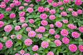 image of zinnias  - Beautiful Blossom Pink Zinnia in public park - JPG