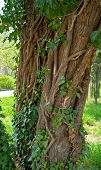 stock photo of camphor  - Tree of unusual kind in a park in spring - JPG