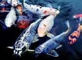 picture of fish pond  - Colourful ornamental koi fish in a pond - JPG