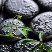 pic of tendril  - beautiful spa concept of green twig passionflower with tendril on zen basalt stones with dew closeup - JPG