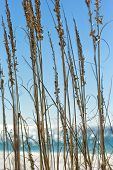 image of gulf mexico  - Close up of sea grass with the Gulf of Mexico in the background - JPG