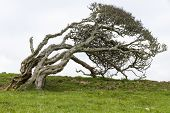 foto of bent over  - Ancient lone hawthorn tree  - JPG