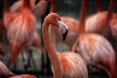 stock photo of flamingo  - An elegant Flamingo bird standing in a flock - JPG