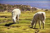 picture of alpaca  - White alpacas  - JPG