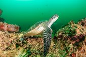picture of green turtle  - Green turtle in darky murky topical waters - JPG