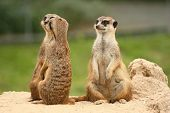 stock photo of meerkats  - A pair of meerkats - JPG