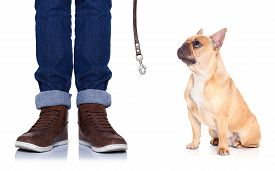 pic of bulldog  - fawn bulldog dog and owner ready to go for a walk or dog being punished for a bad behavior isolated on white background - JPG