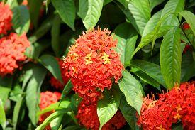 picture of ashoka  - Ashoka flowers primarily seen growing in South India - JPG