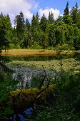 picture of fallen  - Fallen log on the bank of the pond with water lilies and pines and clouds - JPG
