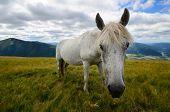 foto of feeding horse  - Fleabitten or piebald grey horse feeding on the mountain pasture with mountain range in background - JPG
